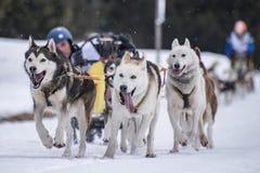 выследите село таблицы скелетона Польши pasterka musher гор собак малое стоковые фото