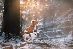 Выследите терьера Retriever и Джека Рассела утки Новой Шотландии породы звоня в парке зимы Стоковое фото RF