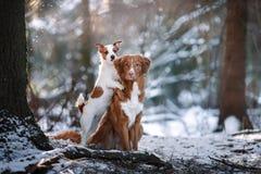 Выследите терьера Retriever и Джека Рассела утки Новой Шотландии породы звоня в парке зимы Стоковая Фотография RF