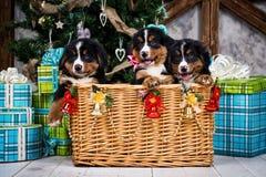 Выследите щенка, рождества и Нового Года горы Bernese породы Стоковые Фото