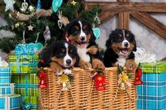Выследите щенка, рождества и Нового Года горы Bernese породы Стоковые Изображения RF