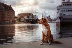 Выследите Retriever утки Новой Шотландии звоня в старом городке стоковая фотография