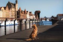 Выследите Retriever утки Новой Шотландии звоня в старом городке стоковое изображение rf