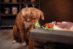 Выследите Retriever утки Новой Шотландии звоня, еду на таблице в кухне Стоковая Фотография RF