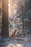 Выследите Retriever утки Новой Шотландии породы звоня в парке зимы Стоковые Фото