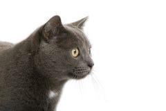 вытаращиться великобританских волос кота короткий Стоковая Фотография