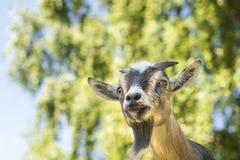Вытаращиться козы Стоковые Изображения RF