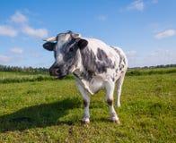 вытаращиться коровы запятнанный серым цветом Стоковое фото RF