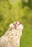 Вытаращиться курицы Антверпена Стоковые Изображения RF