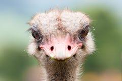 вытаращиться страуса Стоковое Фото