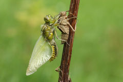 Вытекаенное обширное уплотненное depressa Libellula Dragonfly истребителя Стоковая Фотография
