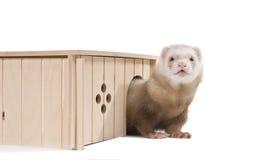 вытекает ferret его домашняя дом стоковое фото rf