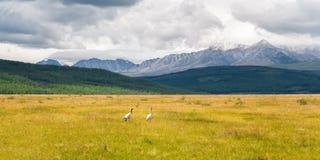 Вытягивает шею птицы в поле Стоковое фото RF