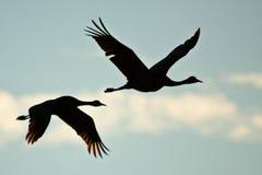 вытягивает шею sandhill полета Стоковая Фотография