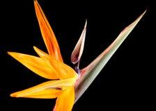 вытягивайте шею цветок Стоковые Фотографии RF