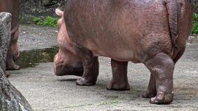 выходить общего бегемота конца-вверх 4K идя воды Гиппопотам в зоопарке акции видеоматериалы