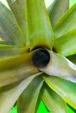 выходит ананас Стоковые Изображения RF