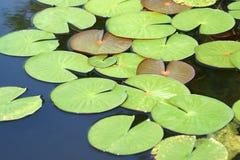 выходит вода лилии Стоковая Фотография