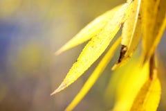 выходит желтый цвет вербы Стоковые Изображения RF