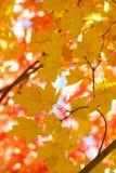 выходит желтый цвет клена Стоковое Фото