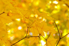 выходит желтый цвет клена Стоковая Фотография