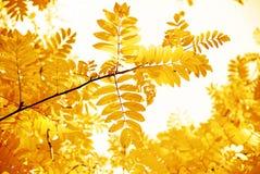 выходит желтый цвет рябины Стоковое Изображение