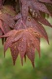 выходит красный цвет дождя клена стоковое изображение rf