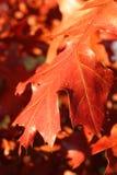 выходит красный цвет дуба Стоковое Изображение RF