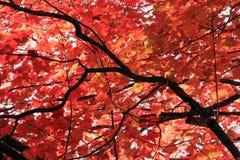 выходит красный цвет клена Стоковое Изображение