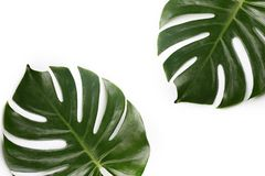выходит ладонь тропической Стоковые Фото