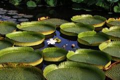 выходит лилии круглая вода Стоковые Изображения RF
