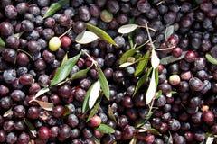 выходит оливки Стоковое Изображение