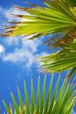 выходит пальма Стоковые Изображения RF
