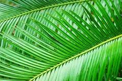 выходит пальма Стоковое Изображение