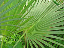 выходит перекрывая ладонь тропической Стоковая Фотография