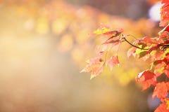 выходит солнечний свет клена Стоковая Фотография RF
