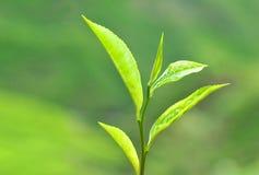 выходит чай плантации Стоковое фото RF