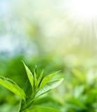 выходит чай плантации Стоковое Фото