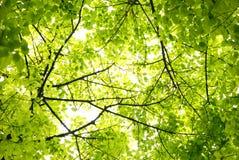 выходит чисто зелень Стоковая Фотография