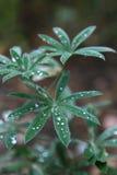 выходит lupine влажной Стоковые Изображения RF