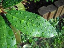 выходит waterdrops рододендрона Стоковое Изображение