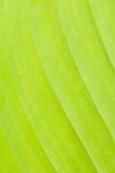выходит банановое дерево Стоковые Фото