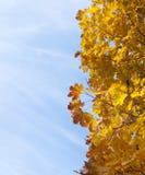 выходит желтый цвет клена Стоковые Фото