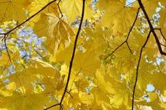 выходит желтый цвет клена Стоковые Фотографии RF