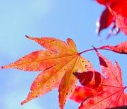 выходит красный цвет клена стоковая фотография rf