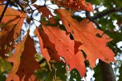 выходит красный цвет дуба Стоковая Фотография RF