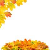 выходит клену красный желтый цвет желтый цвет вала листьев падения предпосылки осени Стоковые Изображения