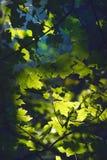 выходит солнечний свет клена Стоковое Изображение