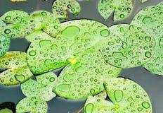 выходит дождь лотоса Стоковое Изображение RF