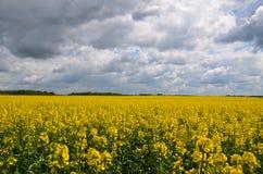 Выход цветков rapseed желтым цветом Стоковые Фотографии RF